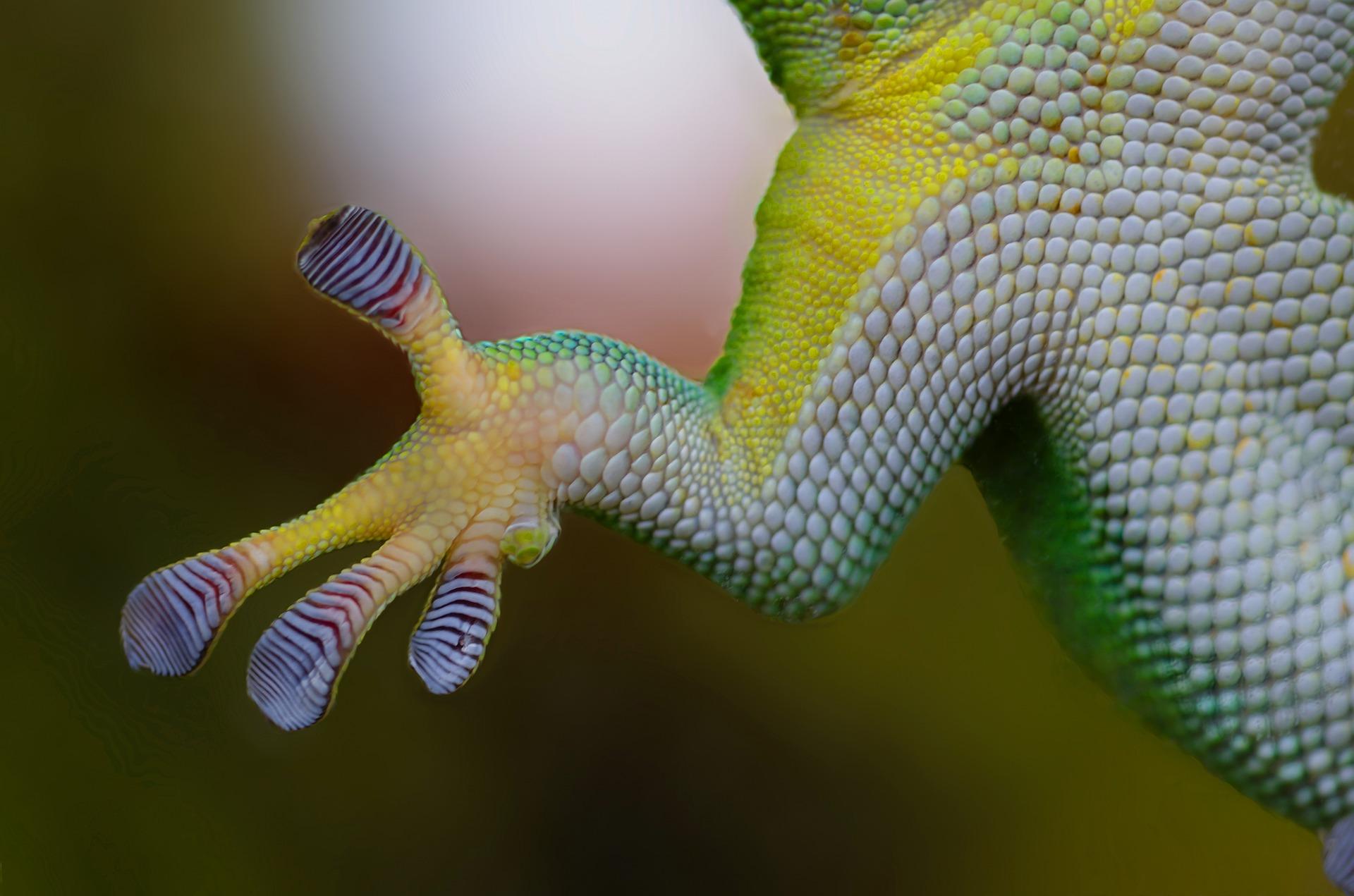 gecko nac